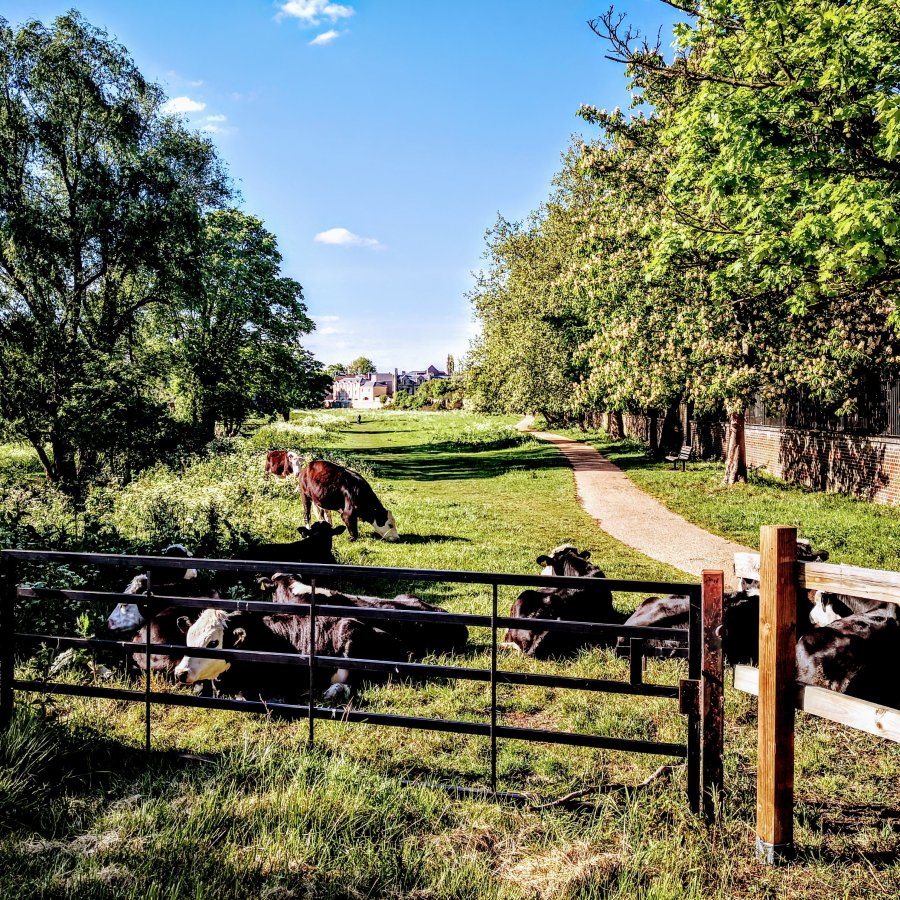 NEWNHAM – ALL COWS, NO BULL